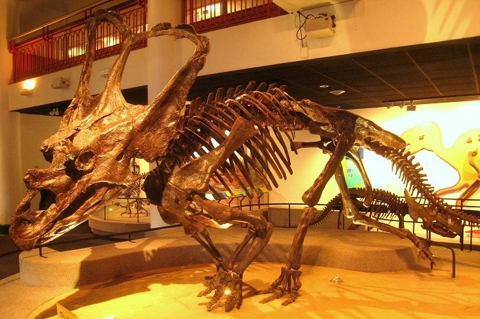 Chasmosaurus located at the Philadelphia Academy of Natural Sciences