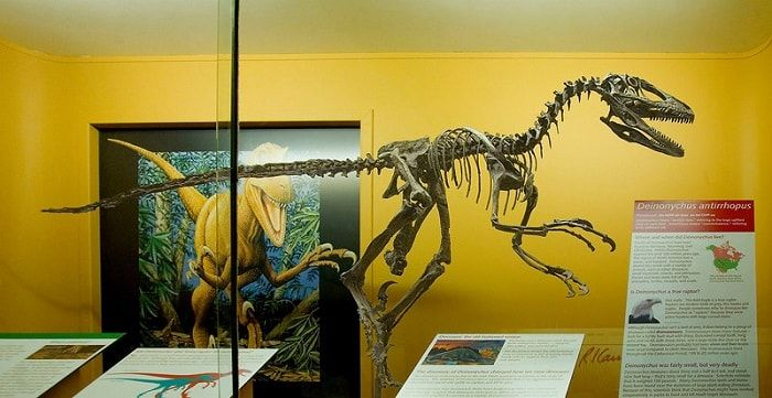 Discovery of Deinonychus