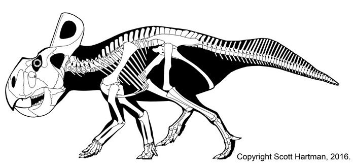 Skeleton of a Protoceratops